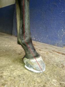 fractura de tejuelo caballo