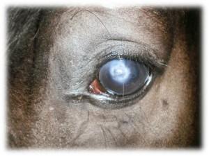 Oftalmología para caballos veterinario Horsevet